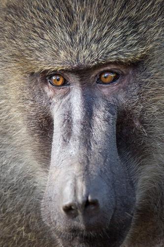 בבון בוגר בסרנגטי, טנזניה - Wild Travel