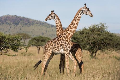 זוג ג'ירפות בסרנגטי, טנזניה - Wild Travel