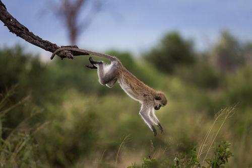 קוף קופץ מעץ, טנזניה - Wild Travel