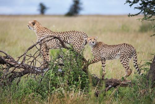 צ'יטות על גזע עץ, אגם נדוטו טנזניה - Wild Travel