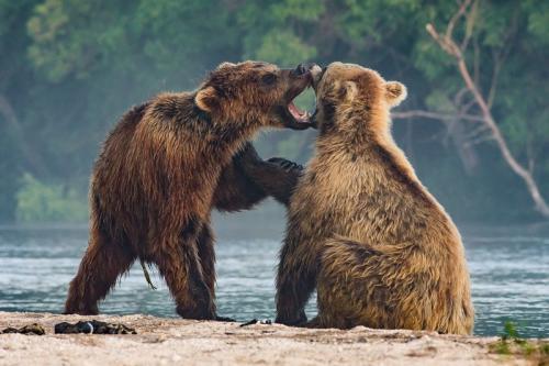 דובים חומים באגם קוריל, קמצ'טקה - Wild Travel