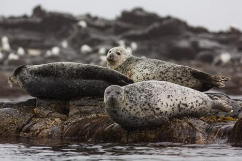 כלבי ים בהפלגה למפרץ רוסקאייה, קמצ'טקה - Wild Travel