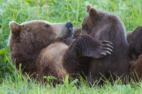 דובים באגם קוריל, קמצ'טקה - Wild Travel