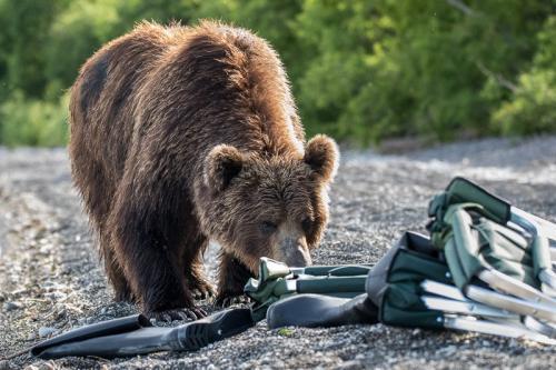 דב סקרן בודק את הציוד שלנו באגם קוריל, קמצ'טקה - Wild Travel