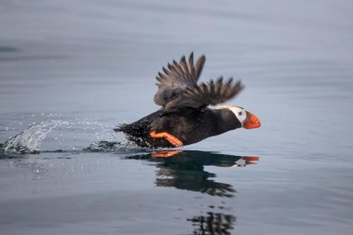 פאפין פאסיפי בהפלגה למפרץ רוסקאייה, קמצ'טקה - Wild Travel