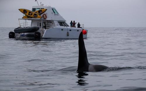 סנפיר של אורקה (קטלן) בהפלגה למפרץ רוסקאייה, קמצ'טקה - Wild Travel
