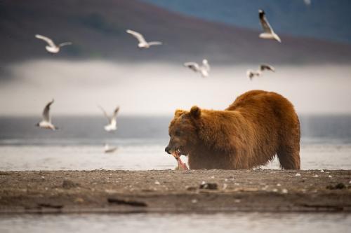דב חום צד סלמון באגם קוריל, קמצ'טקה - Wild Travel