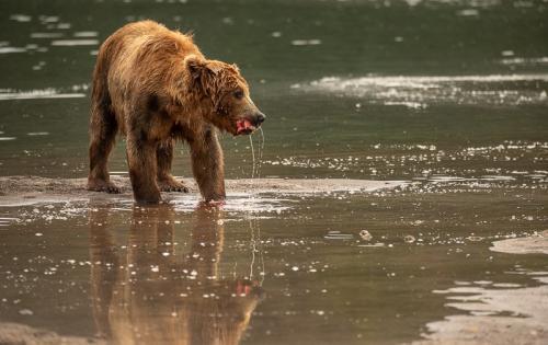 דב חום באגם קוריל, קמצ'טקה - Wild Travel