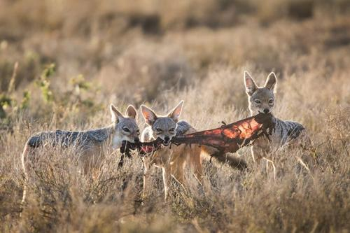 תנים עם פגר בסוואנה, טנזניה - Wild Travel