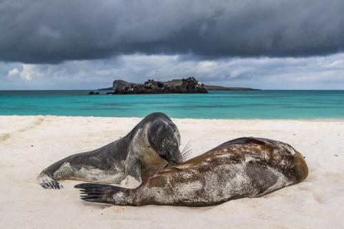 כלב ים יונק באיי גלפגוס - Wild Travel