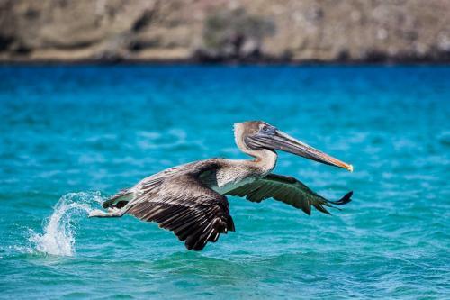 שקנאי אמריקאי ממריא מהמים, איי גלפגוס - Wild Travel