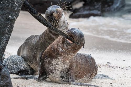 גור של אריה ים משחק עם זנב של איגואנה ימית - Wild Travel