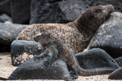איגואנה ימית באיי גלפגוס - צולם במסגרת טיול צילום לאיי גלפגוס - Wild Travel