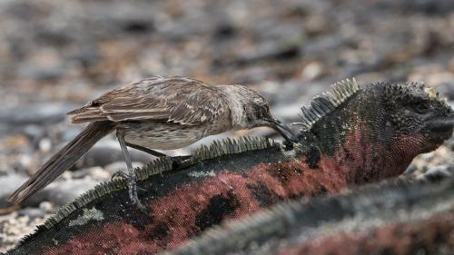 חקיין גלאפגוס אוכל טפילים על גבה של איגואנה ימית, איי גלפגוס - Wild Travel