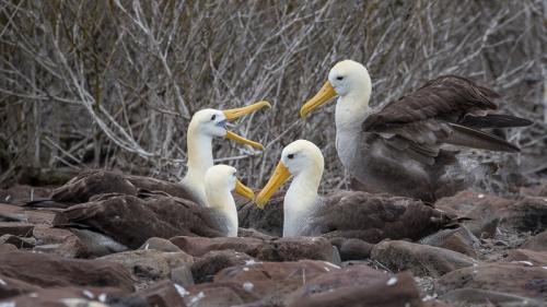 אלבטרוסים מקננים באי אספניולה איי גלפגוס - Wild Travel