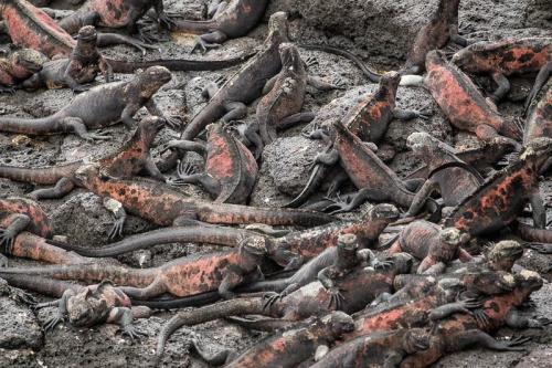 איגואנות ימיות משתזפות על הסלע הוולקני באיי גלפגוס - Wild Travel