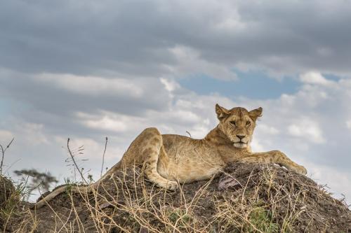 אריה צעיר על תלולית אפר, סרנגטי טנזניה - Wild Travel