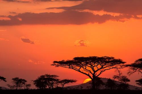 עצי שיטה בשקיעה אפריקאית, סרנגטי טנזניה - Wild Travel