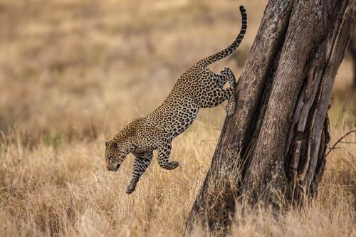 נמר קופץ מעץ בסרנגטי, טנזניה - Wild Travel