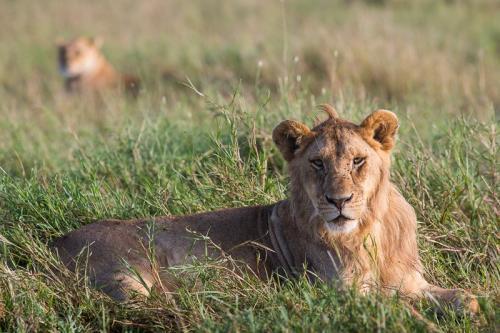 אריה צעיר בסרנגטי, טנזניה - Wild Travel