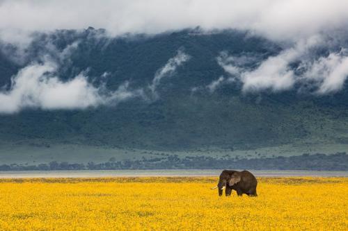פיל בשדה חרציות בעונה הגשומה, קלדרת נגורונגורו, טנזניה - Wild Travel