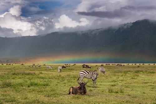 קשת מעל לעדרי גנו בקלדרת נגורונגורו, טנזניה - Wild Travel