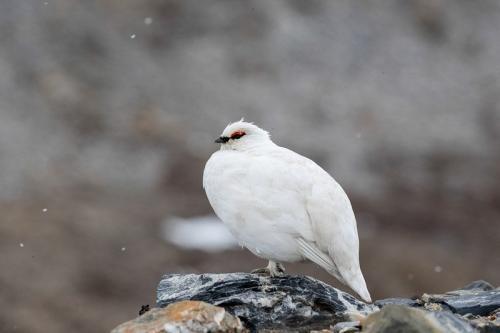 שכווי השלג, שפיצברגן. צילום: יורם שפירר - Wild Travel