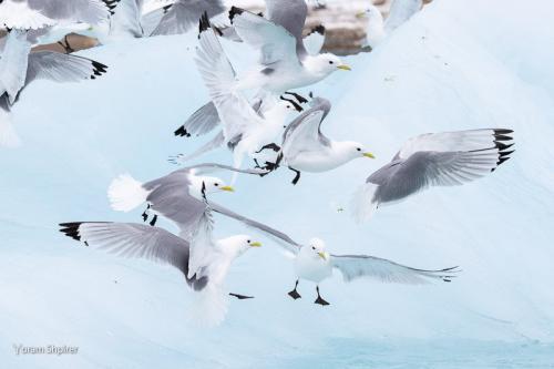 שחפים על קרחון, שפיצברגן. צילום: יורם שפירר - Wild Travel