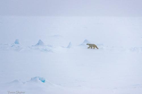 דב קוטב הולך בשממה הארקטית, שפיצברגן. צילום: יורם שפירר - Wild Travel