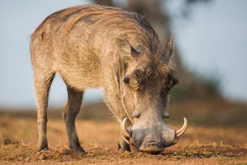 פומבה - חזיר יבלות ליד אגם מבורו, אוגנדה - Wild Travel