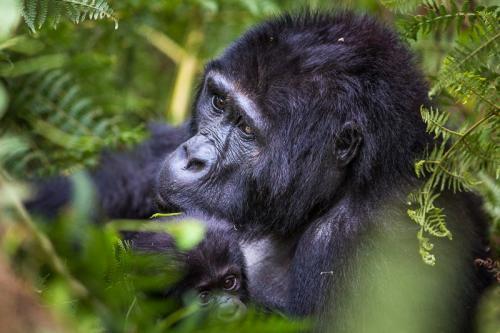 גורילת הרים עם הגור שלה ביער בווינדי, אוגנדה - Wild Travel