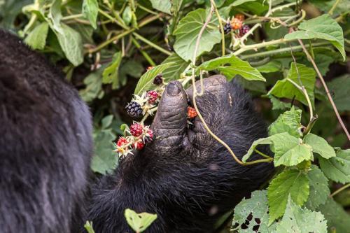 יד של גורילת הרים ביער בווינדי, אוגנדה - Wild Travel