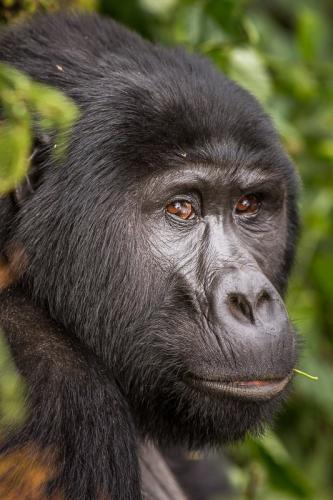 גורילת הרים ביער בווינדי, אוגנדה - Wild Travel