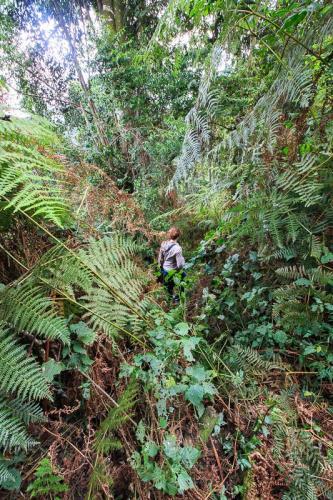 הליכה בסבך של יער בווינדי, אוגנדה - Wild Travel
