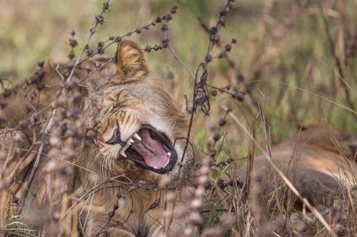 אריה צעיר בשמורת איששה, אוגנדה - Wild Travel