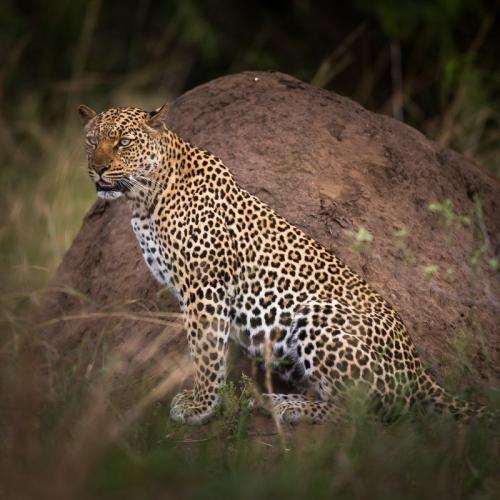 נמר חברבורות בשמורת קווין אליזבט, אוגנדה - Wild Travel