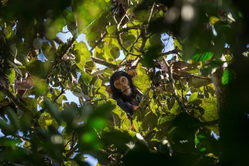 שימפנזה צעיר ביער בודונגו ליד מפלי מורצ'יסון, אוגנדה - Wild Travel