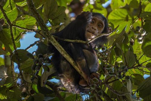 שימפנזה ביער בודונגו ליד מפלי מורצ'יסון, אוגנדה - Wild Travel
