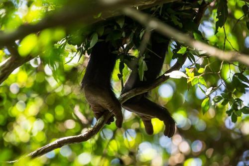 רגליים של שימפנזה ביער בודונגו ליד מפלי מורצ'יסון, אוגנדה - Wild Travel