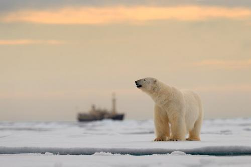דב קוטב בים הקרח הצפוני, שפיצברגן - Wild Travel